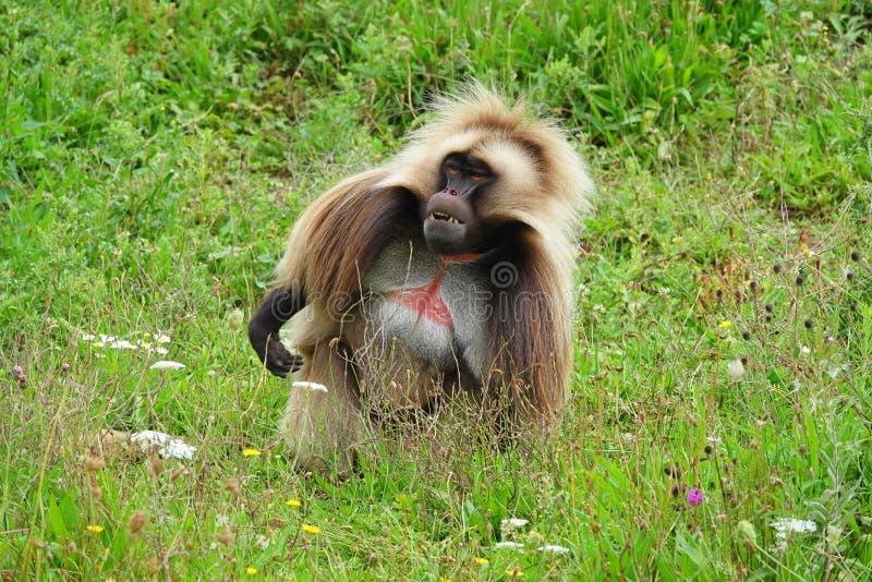 Un singe de Gelada de mâle se reposant dans l'herbe images stock