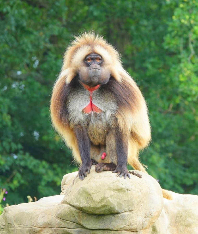Un singe de Gelada se reposant sur la roche image stock