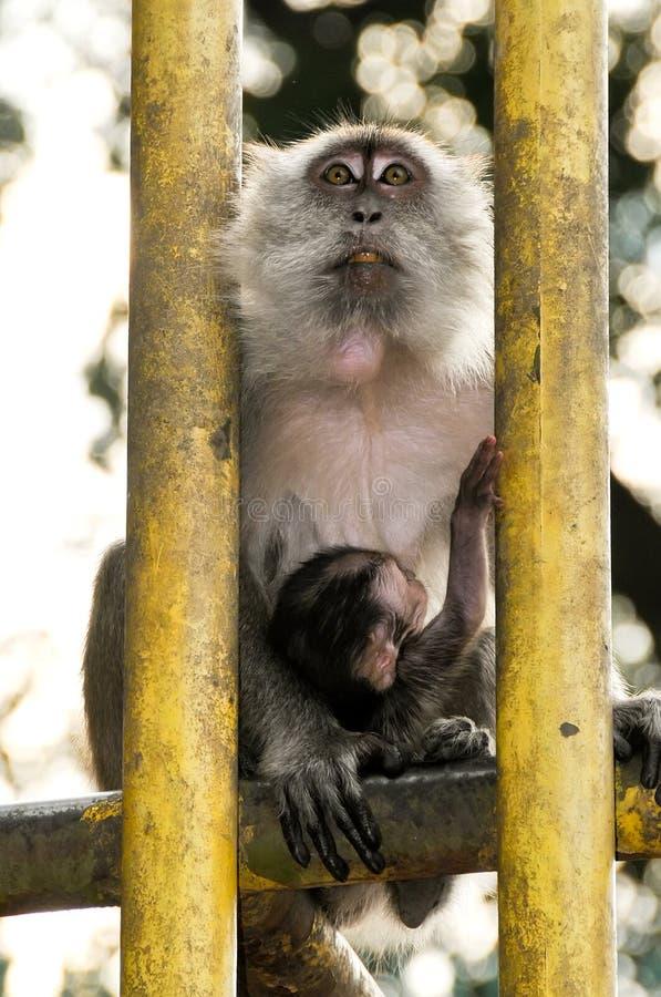 Un singe de Macaque en dehors du Batu foudroie en Malaisie photographie stock