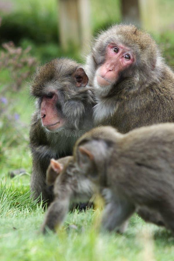 Un singe de neige de mère avec sa famille photo libre de droits