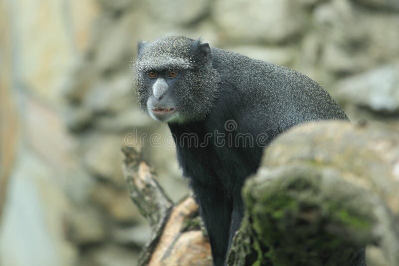 Un singe endroit-flairé plus grand photo stock