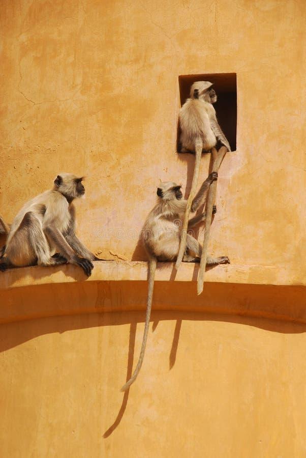 Un singe essayant de tirer la queue d'un autre singe photographie stock libre de droits