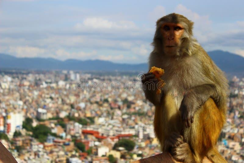 Un singe mange photos stock