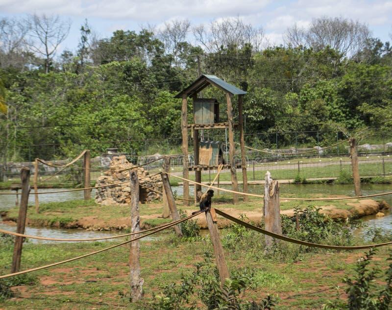 Un singe a porté sur quatre cordes et un tronc images libres de droits