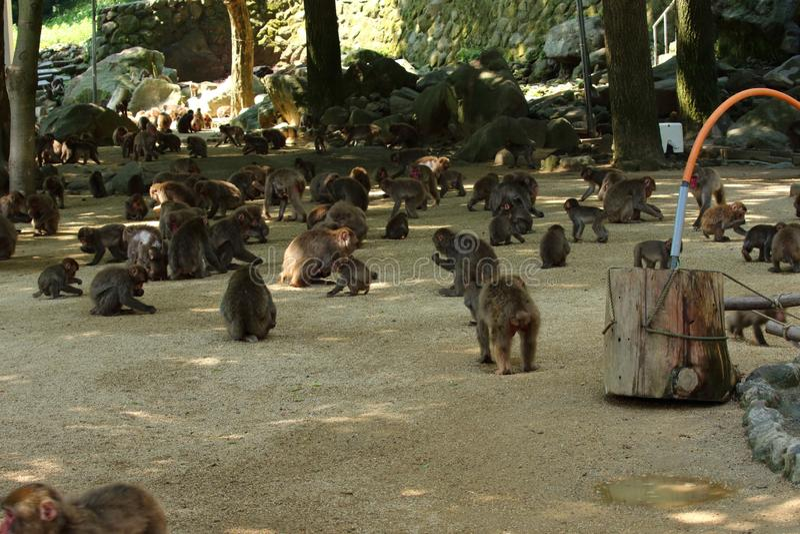 Un singe sauvage a recueilli à l'endroit de alimentation du zoo naturel de Takasakiyama image stock