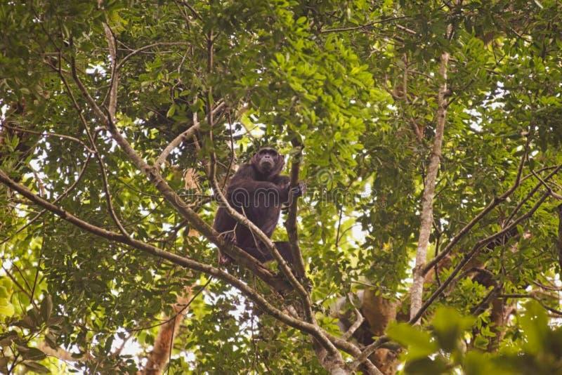 Un singe se repose sur un arbre images stock