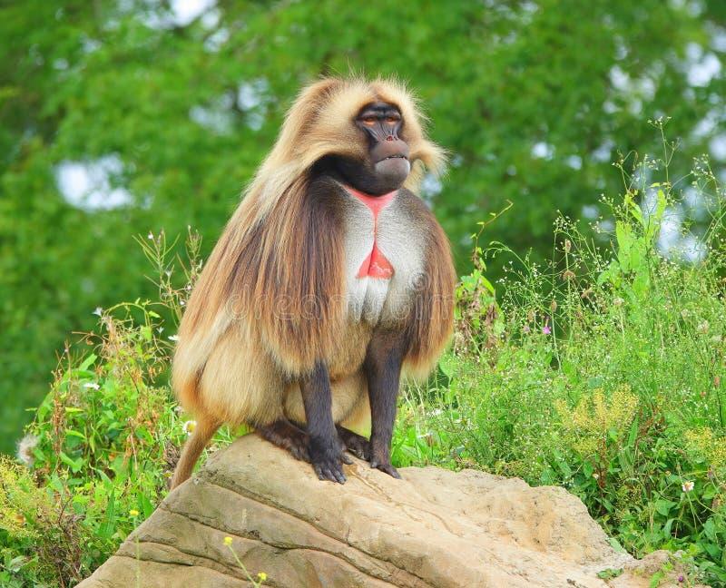 Un singe vigilant de Gelada se reposant sur la roche photos libres de droits