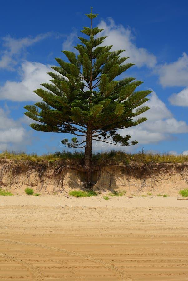 Un singolo albero che cresce su una spiaggia; radici rivelanti dell'albero di erosione del suolo pesante fotografie stock