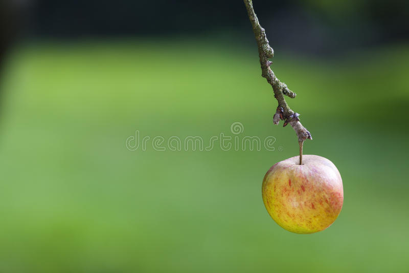 Un singolo Apple che appende sul ramo di un albero fotografie stock