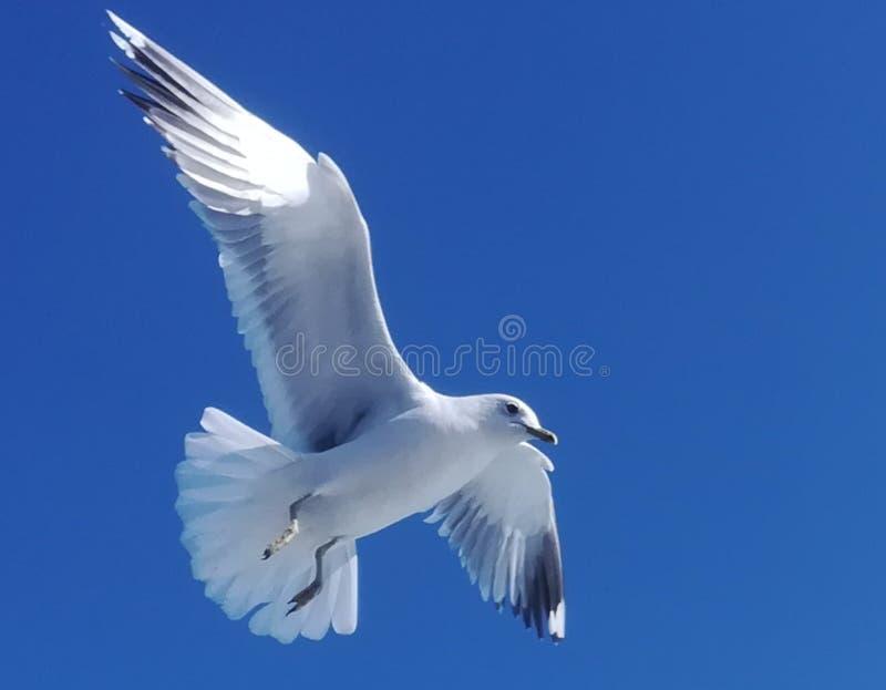 Un singolo gabbiano è in ascesa in cielo blu fotografia stock libera da diritti