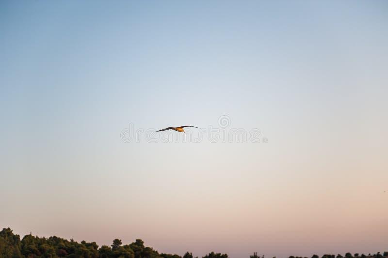 Un singolo gabbiano che scivola e che sorvola il mare Cielo di tramonto di sera fotografia stock