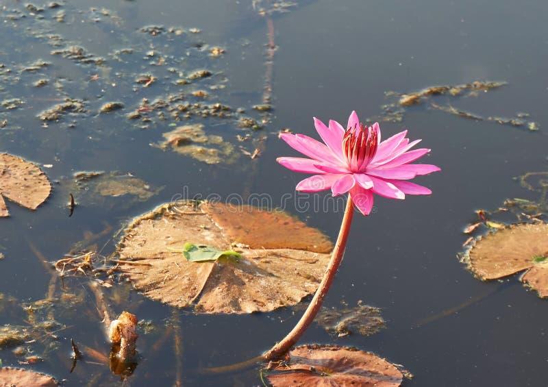Un singolo loto rosa nello stagno immagine stock