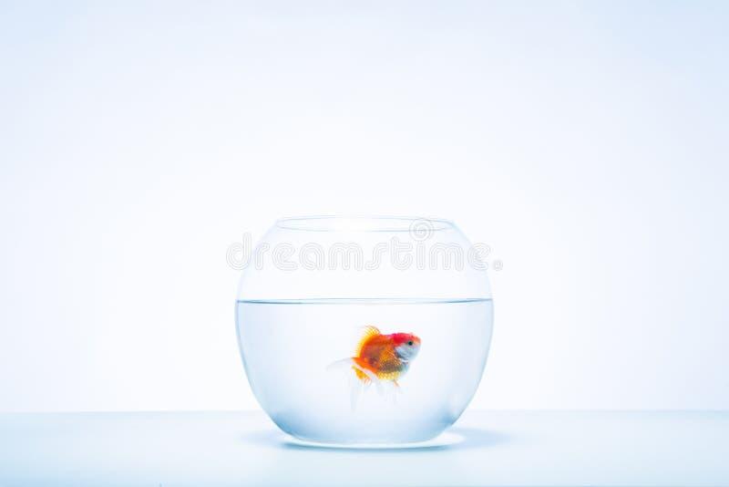 Un singolo pesce rosso in una ciotola fotografia stock