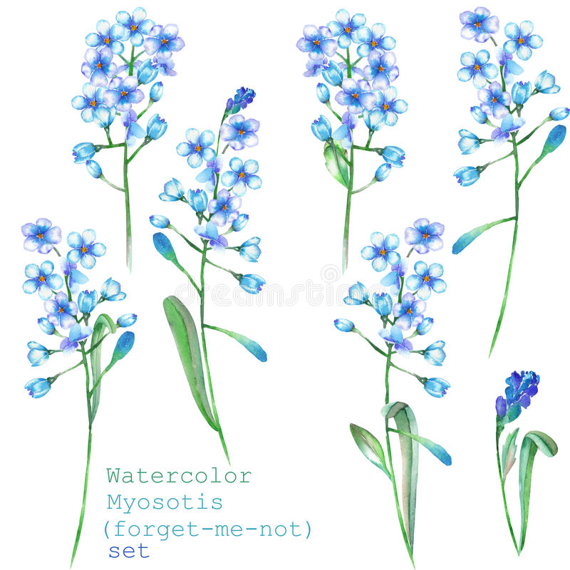 Un sistema con los elementos florales bajo la forma de nomeolvides azul de la acuarela florece (Myosotis) para una decoración ilustración del vector