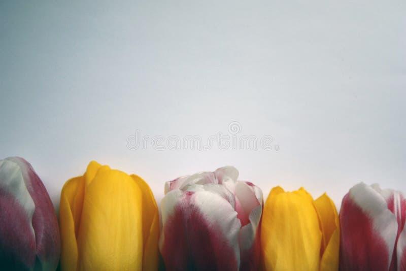 Un sistema de cinco tulipanes multicolores en un fondo blanco-gris imagen de archivo libre de regalías