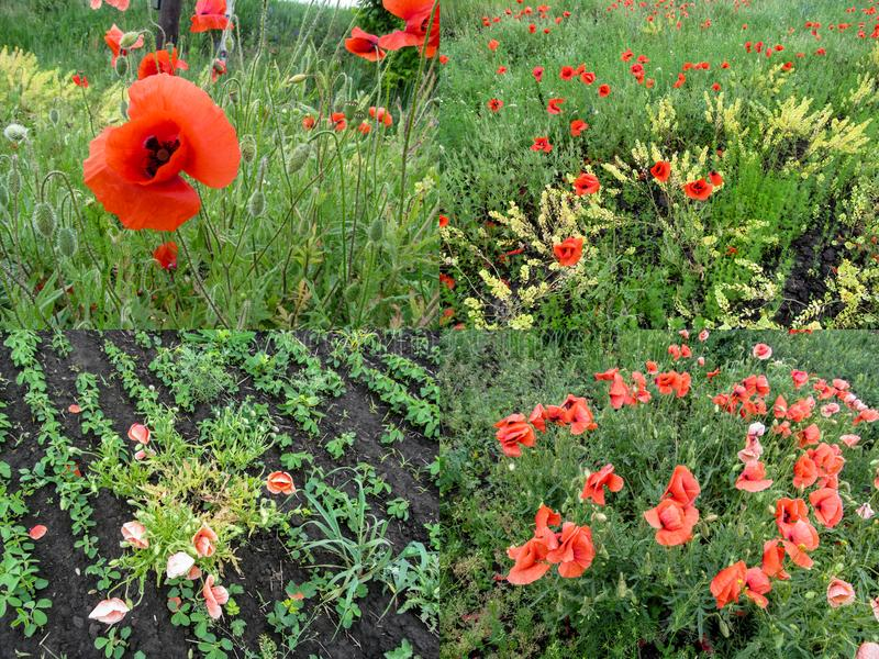 Un sistema de cuatro fotos de la agricultura de las amapolas que crecieron en el campo y se secaron para arriba del control de ma foto de archivo