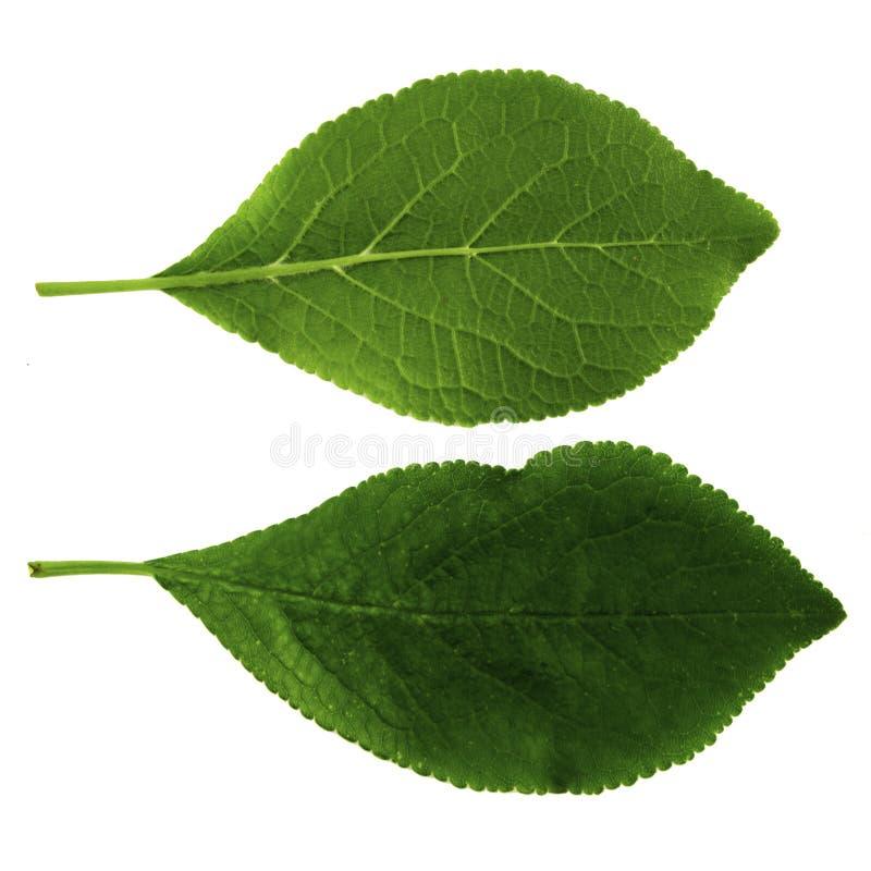 Un sistema de dos hojas verdes de ciruelo aisladas en un fondo blanco, el lado superior e inferior de una hoja fotos de archivo