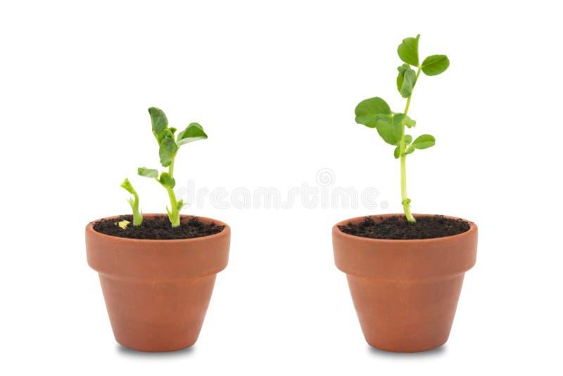 Un sistema de germinación orgánica de dos semillas de guisante El guisante verde brota en los potes sin pintar de cerámica de la  foto de archivo libre de regalías