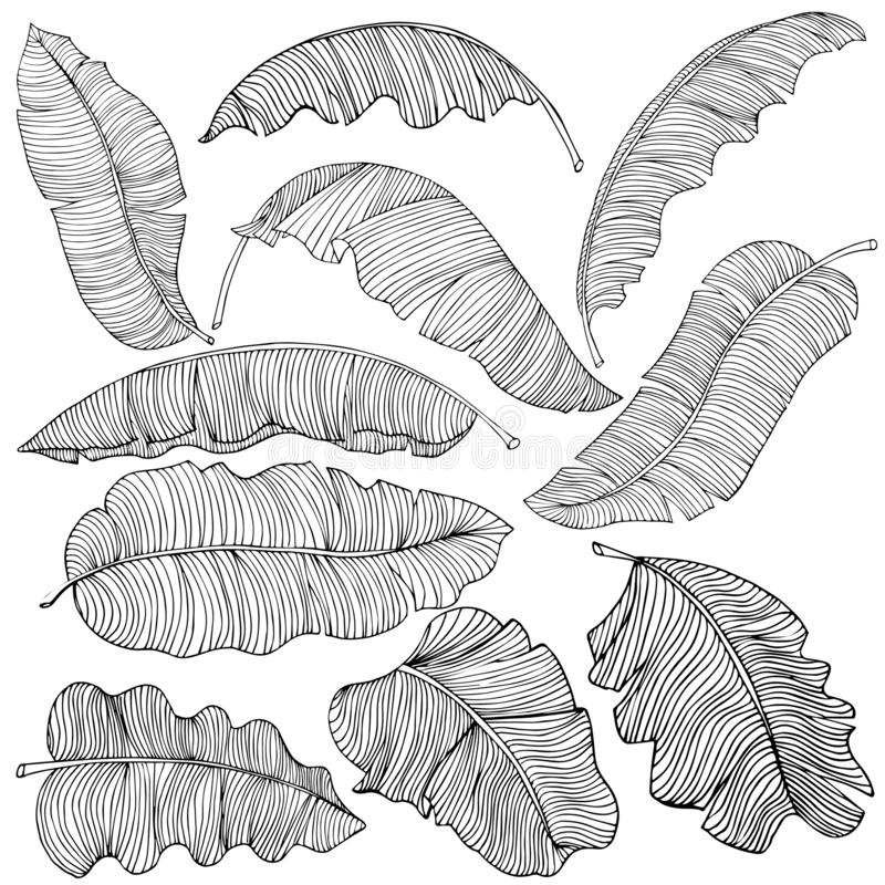 Un sistema de hojas exóticas, blancas del plátano con esquemas negros, aislados en un fondo blanco Imagen decorativa con follaje  ilustración del vector
