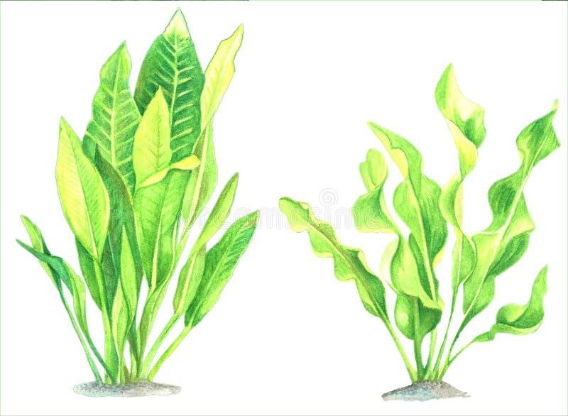 Un sistema de imágenes de la acuarela de la alga marina en un fondo blanco libre illustration