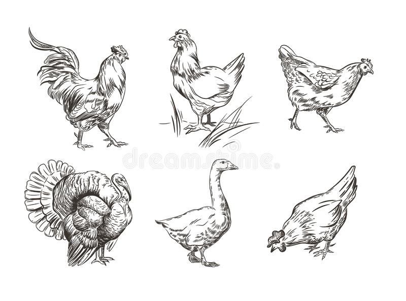 Un sistema de imágenes de pájaros nacionales Gallo, pavo, gallinas y ganso gr?ficos del bosquejo ilustración del vector