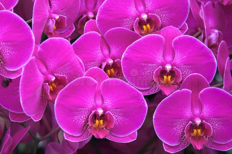 Un sistema de orquídeas púrpuras imagenes de archivo