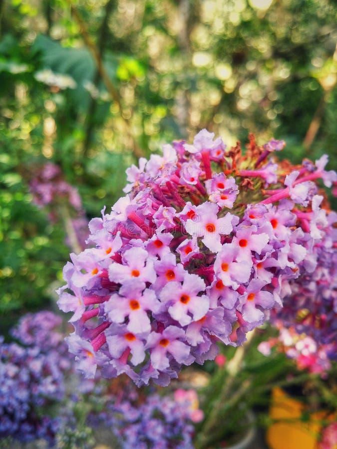 Un sistema de pequeñas flores blancas rosadas hermosas que viven en la colección imágenes de archivo libres de regalías