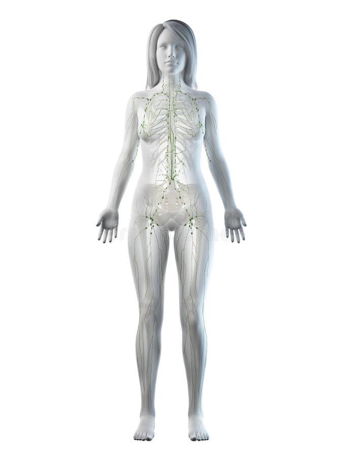 Un sistema linfático de las hembras ilustración del vector
