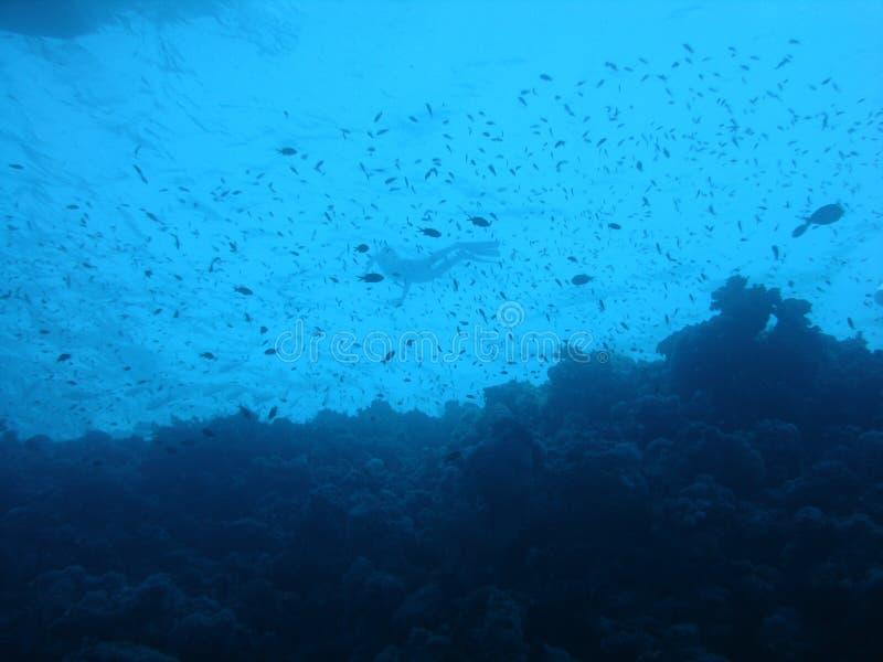 Un snorkeler en medio de los pescados de un filón coralino imagen de archivo libre de regalías