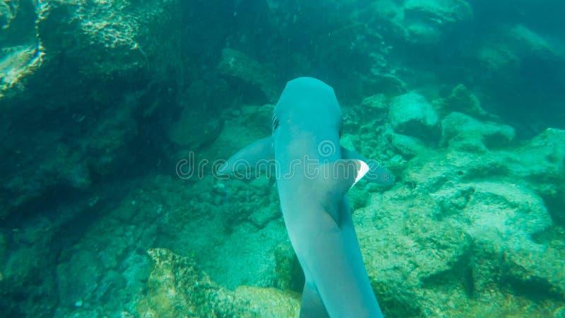 Un snorkeler suit un requin blanc-incliné de récif dans les îles de Galapagos photographie stock libre de droits