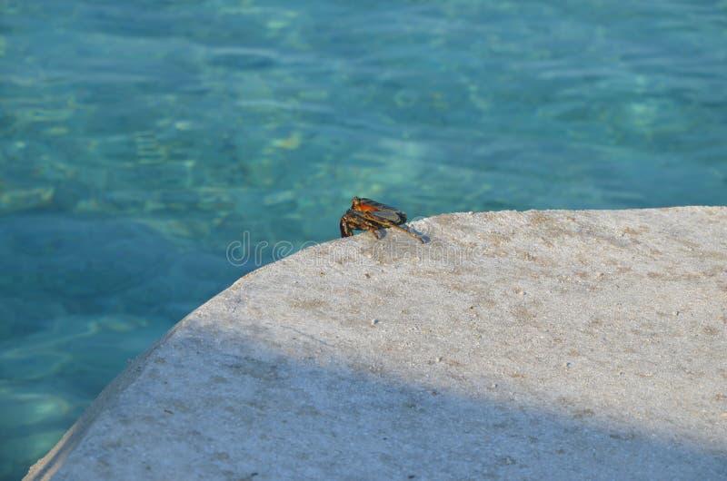 Un sognatore del granchio fotografia stock