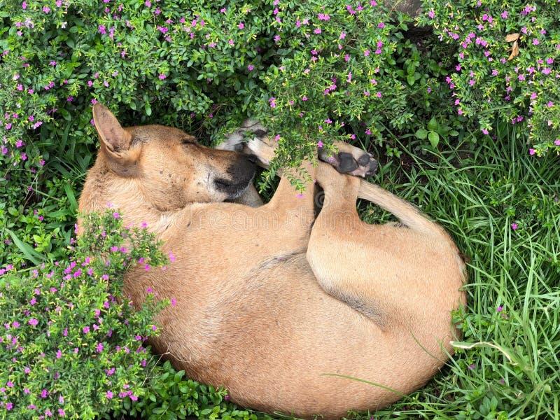 Un sogno dolce di un cane nei fiori, Dacca fotografia stock libera da diritti