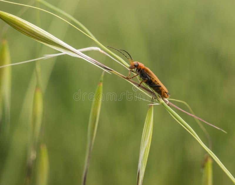 Un soldato Beetle che scala su una pianta dell'avena fotografia stock