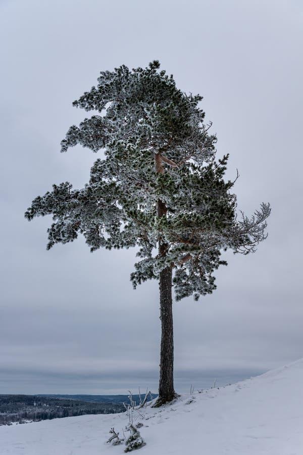 Un solo árbol de pino que crece en un top de congelación de la montaña imágenes de archivo libres de regalías