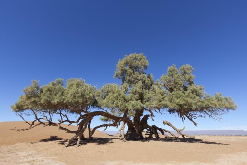Un solo árbol del Tamarisk (articulata del Tamarix) en el desierto del Sáhara fotografía de archivo