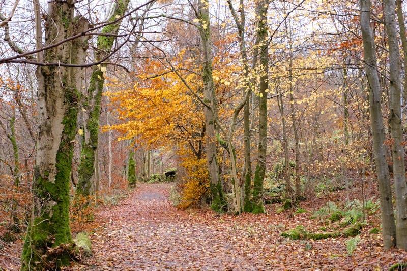 Un solo árbol en Forrest Walk con colores otoñales amarillos imagenes de archivo