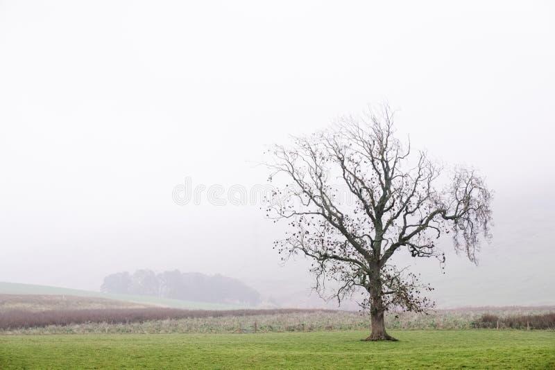 Un solo árbol solitario solamente en granja del paisaje de la niebla imagenes de archivo