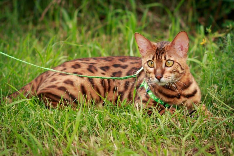 Un solo gato de Bengala en alrededores naturales fotografía de archivo