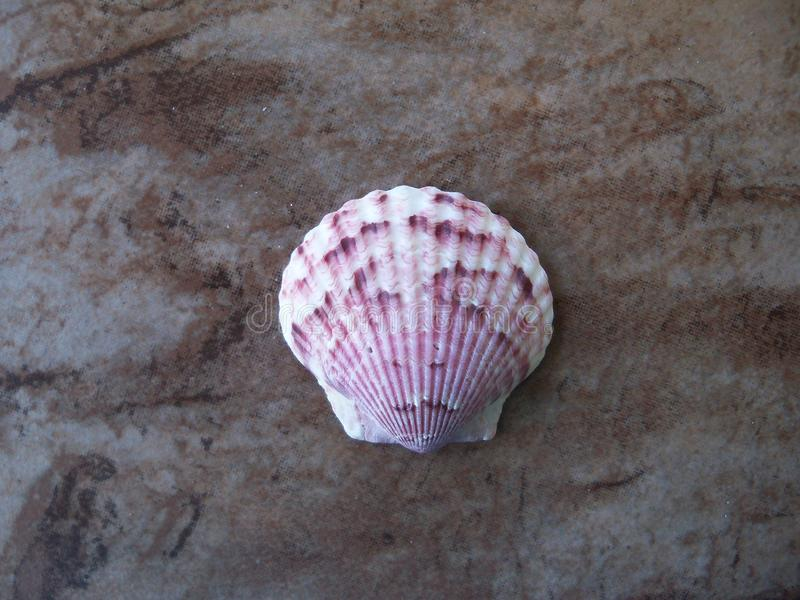 Un solo mar Shell de la concha de peregrino de calicó fotos de archivo