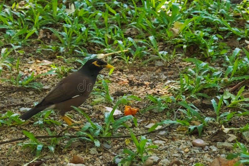 Un solo pájaro de myna negro snacking en un pedazo de fruta, en un parque tailandés del jardín fotos de archivo libres de regalías