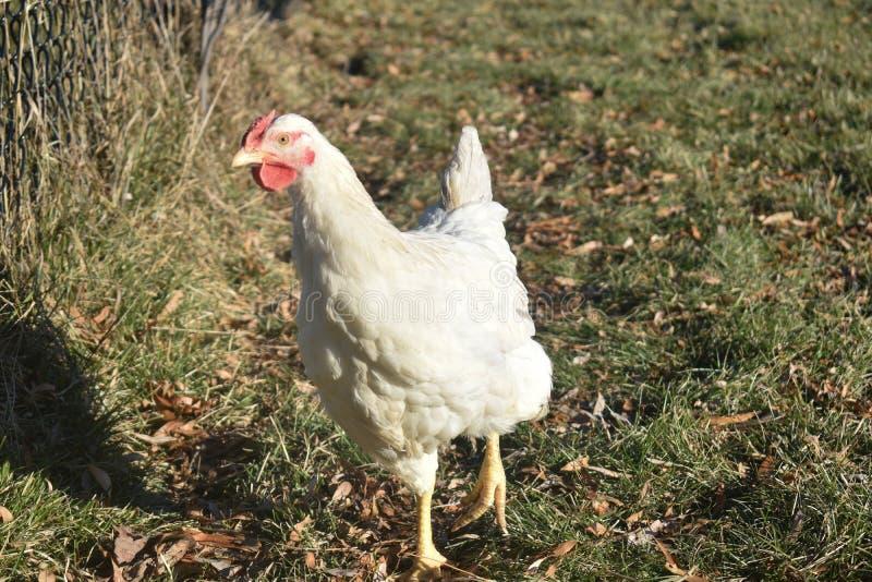 Un solo pollo blanco que se extiende libremente en un día soleado en otoño en una granja avícola en Wisconsin fotos de archivo libres de regalías