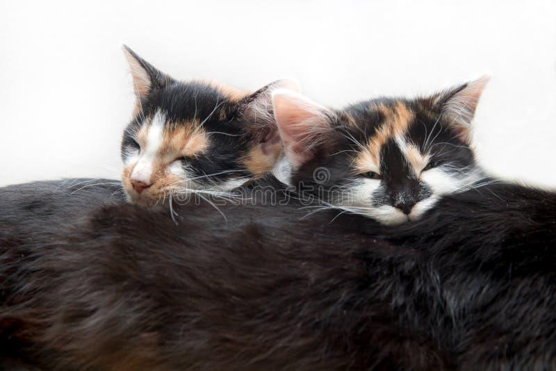 Un sonno di due gattini sulla sua madre del gatto fotografie stock libere da diritti