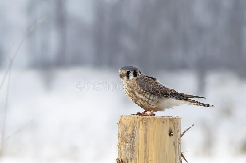 Un sparverius américain de Falco de crécerelle était perché sur un courrier en hiver au Canada photographie stock