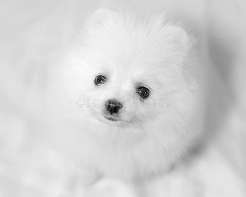 Un Spitz de Pomeranian de chiot de mois photos stock