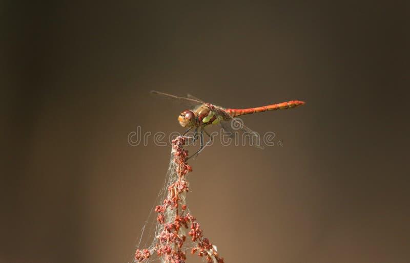 Un striolatum bastante común de Sympetrum de la libélula del Darter que se encarama en el top de una planta en el borde de una ch fotos de archivo libres de regalías