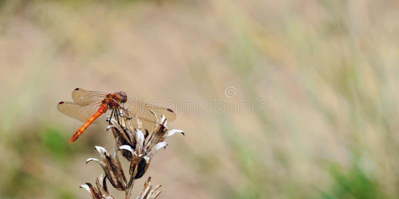 Un striolatum común de Sympetrum de la libélula del darter que descansa sobre un poco de vegetación muerta mientras que en la mir fotografía de archivo libre de regalías