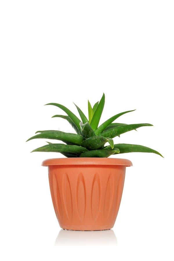 Un succulent de la planta en un pote en un fondo blanco fotografía de archivo libre de regalías