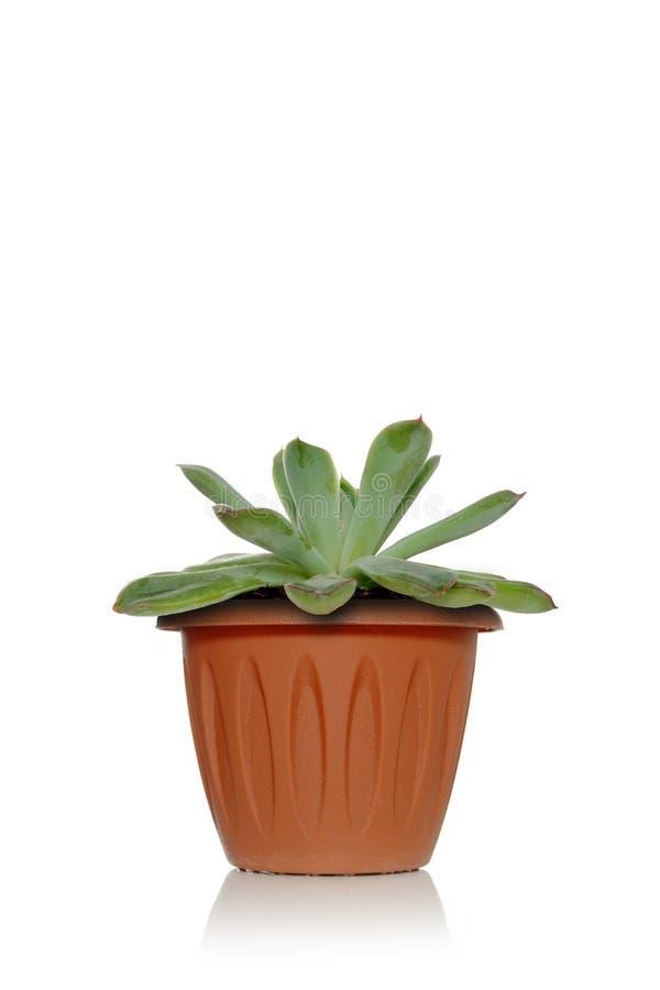 Un succulent de la planta en un pote en un fondo blanco con las hojas del verde y los pequeños brotes imagenes de archivo