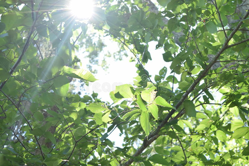 Un Sun fra gli alberi fotografia stock