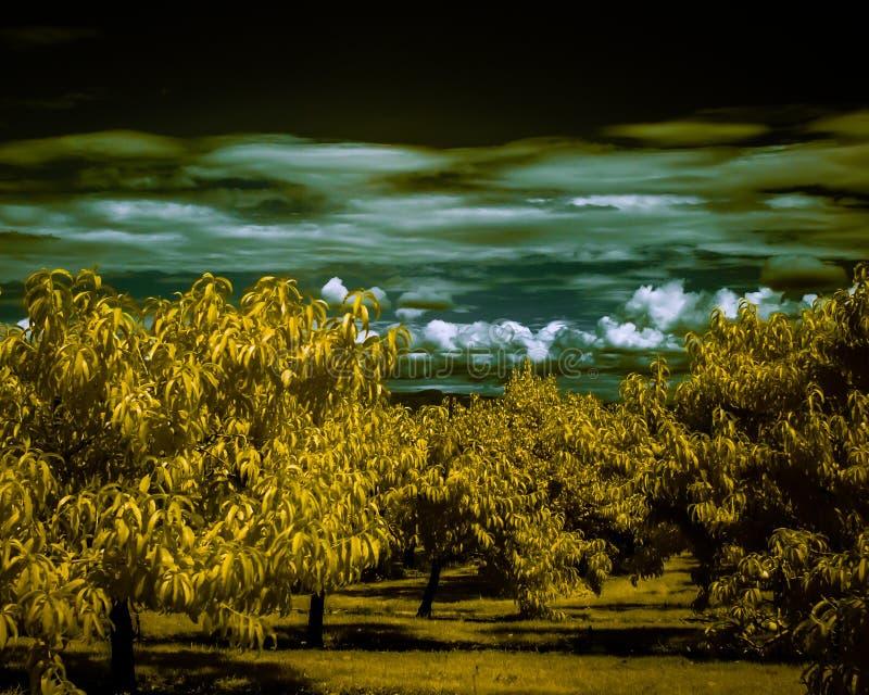 Un support des abricots devant les nuages pelucheux tirés dans l'infrarouge donnant aux feuilles une couleur jaune heureuse photo libre de droits
